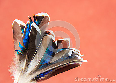Duck blue feathers