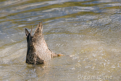 Duck Bum