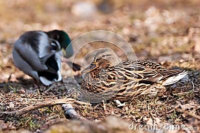 Duck couples