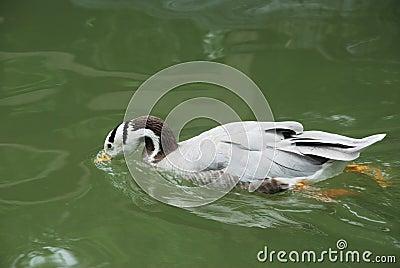 Duck drink water