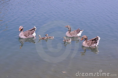 Adult and young ducks swimming together in bright sun, 6 waterfowl.
