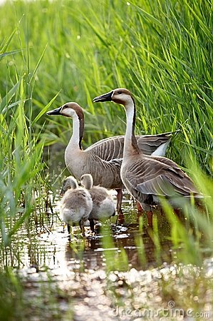Free Duck Family Royalty Free Stock Photography - 5634667