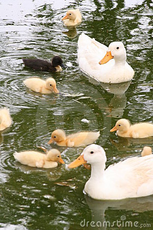 Free Duck Family Stock Images - 573054