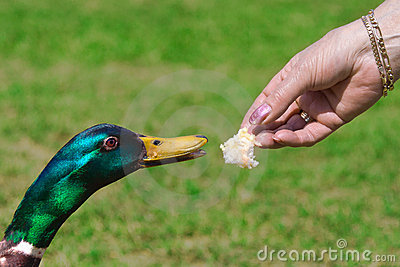 Duck Feeding On Bread