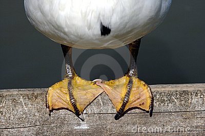 Duck feet perched on a wooden pier