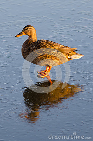 Duck female with ice reflection