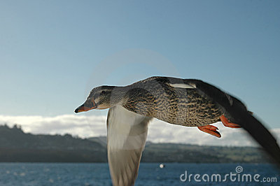 Duck in Flight 3