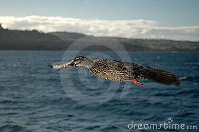 Duck in Flight 4