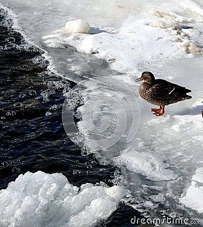 A duck on a frozen lake