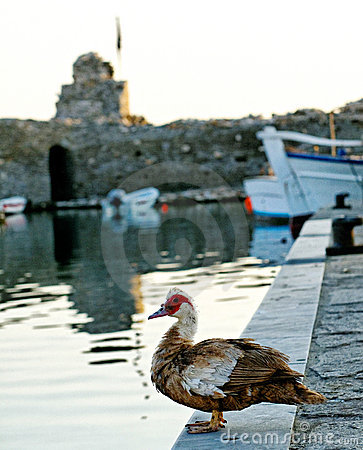 Duck On Harbor Wall Royalty Free Stock Photography - Image: 22602617