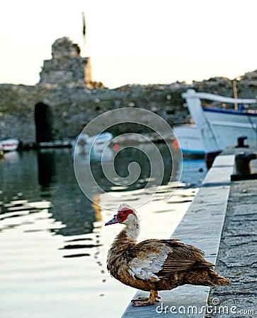Duck on harbor wall