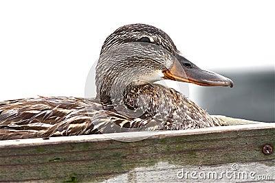 Duck on her Nest