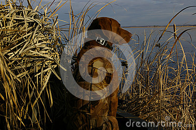 Duck Hunting Dog