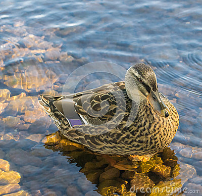 Free Duck In Water Stock Image - 29012541
