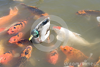 Duck among koi fish