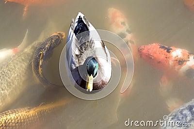 Duck among koi fish