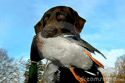 Duck and Labrador