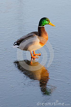 Duck male with ice reflection