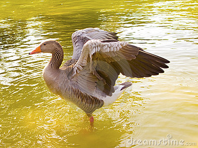 A duck with open wings