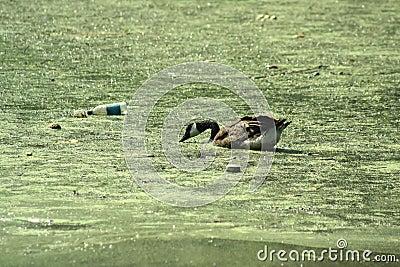 Duck in Pollution
