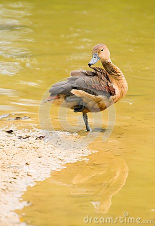 Duck Preening at Water's Edge