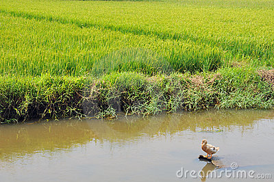 Duck in the rice paddy