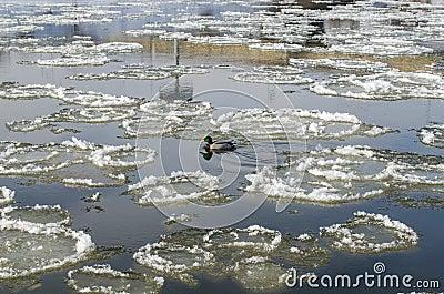 Duck in river between big frozen piece of ice
