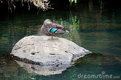 Duck on the Rock