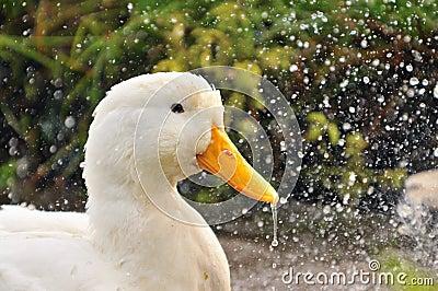 Duck Series 4