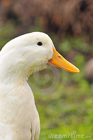 Free Duck Series 6 Stock Photos - 5836613