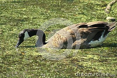Goose in Slime