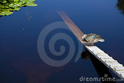 Duck staying on a plank