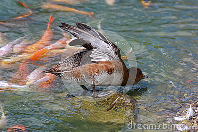 Duck Stretching