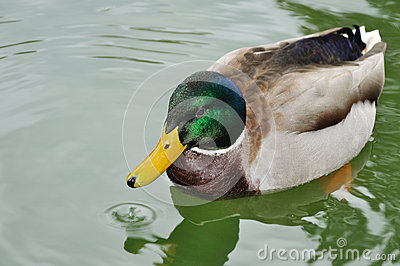 He-duck swimming