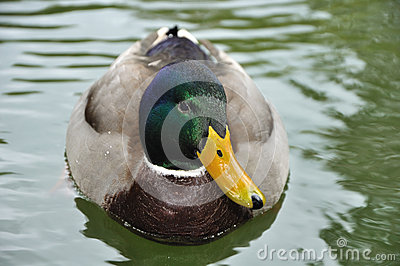 He-duck on the water
