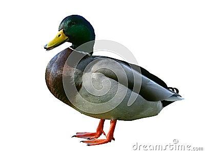Duck on white