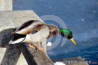Duck in Winter