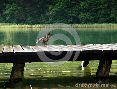 Duck On Wooden Dock At Daytime Free Public Domain Cc0 Image