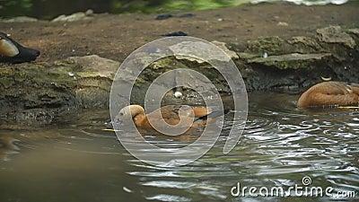 Duck zwemt in de vijver stock videobeelden