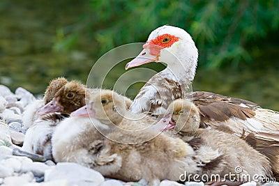 Duckies near mum