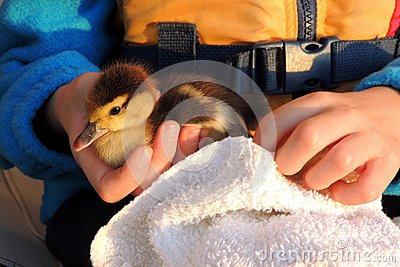 Duckling in childs hand