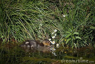 Duckling and Flowers