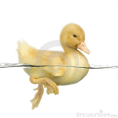 Free Duckling Four Days Stock Image - 2262291