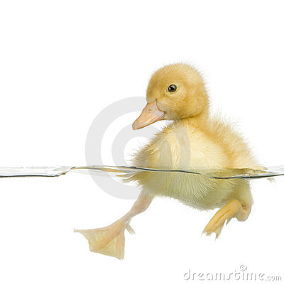 Free Duckling Four Days Royalty Free Stock Photos - 2262428