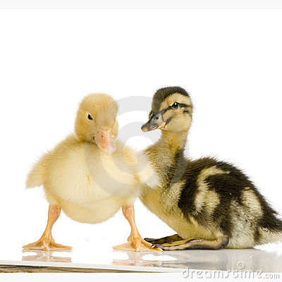 Free Duckling Four Days Royalty Free Stock Image - 2285636