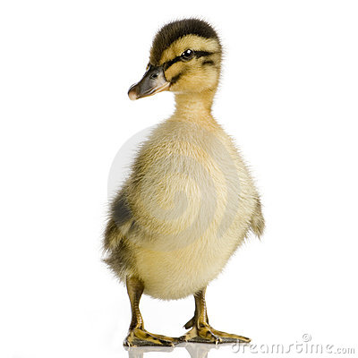 Free Duckling Four Days Stock Photography - 2285642