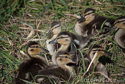 Duckling Group I