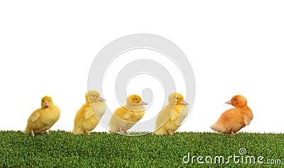 Duckling walk