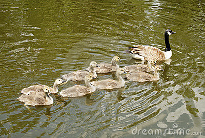 Ducklings follow their mom