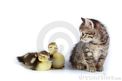 Ducklings and kitten.